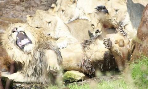 Δεν πίστευαν στα μάτια τους βλέποντας τις λιονταρίνες να κάνουν κάτι τρομερό στο κυρίαρχο αρσενικό!