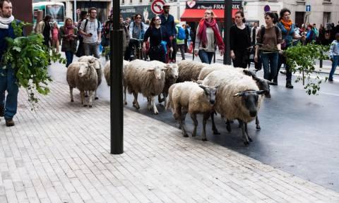 Τι έκαναν 30 προβατίνες στο κέντρο του Παρισιού