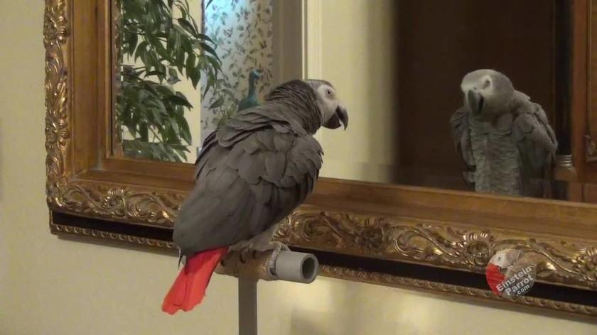 Παπαγάλος έχει πιάσει εποικοδομητική συζήτηση με τον ... εαυτό του (vid)