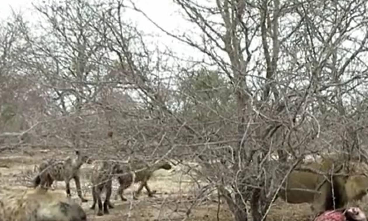 Απίστευτη μάχη... Λιοντάρι δέχεται επίθεση από ύαινες! (video)