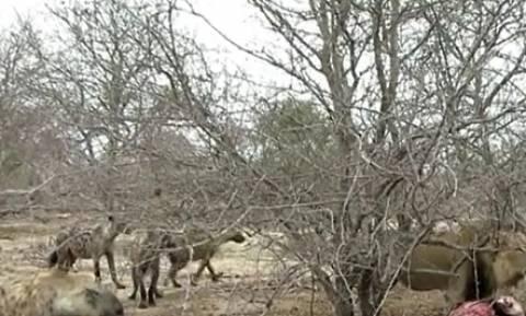 Υαινες επιχειρούν να επιτεθούν σε λιοντάρι. Η αντίδρασή του; Ανατριχιαστική... (video)