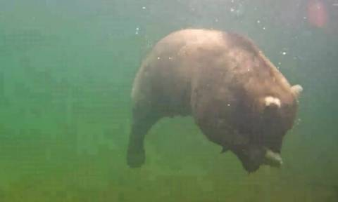 Δείτε την βουτιά αρκούδας για να πιάσει ψάρι (vid)