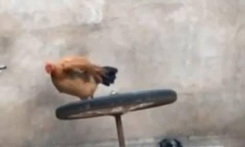 Η κότα αποφάσισε να κάνει… γυμναστική (vid)