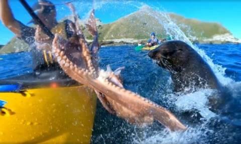 Απίστευτο βίντεο: Φώκια χαστουκίζει άνθρωπο με χταπόδι!