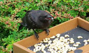 Τάιζε κοράκια στον κήπο της για χρόνια. Ποτέ δεν φανταζόταν τι θα ακολουθούσε... (photos)