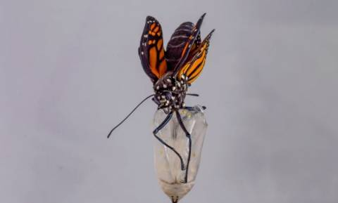 Καρέ - καρέ η απίστευτη μεταμόρφωση μιας πεταλούδας! (vid)