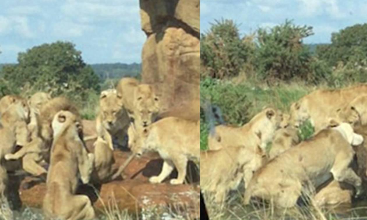 Λιονταρίνες επιχειρούν να κατασπαράξουν αρσενικό λιοντάρι! Σοκαριστικές εικόνες (video)
