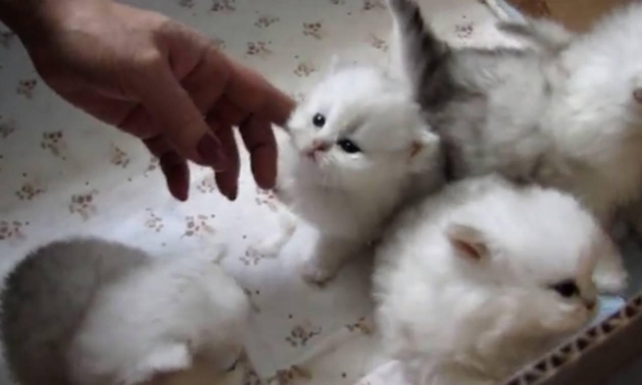 7d8a1bdc592c Αυτά τα νεογέννητα χνουδωτά γατάκια θα σας κάνουν να λιώσετε! (vid ...