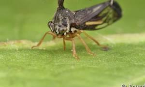 Ανατριχιαστικό: Το έντομο του Αμαζονίου που μοιάζει με ελικόπτερο! (video)