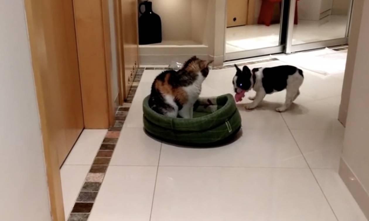 ad465f474aa4 Σκύλος εναντίον γάτας - Δείτε τι κάνει για να της... πάρει το κρεβάτι