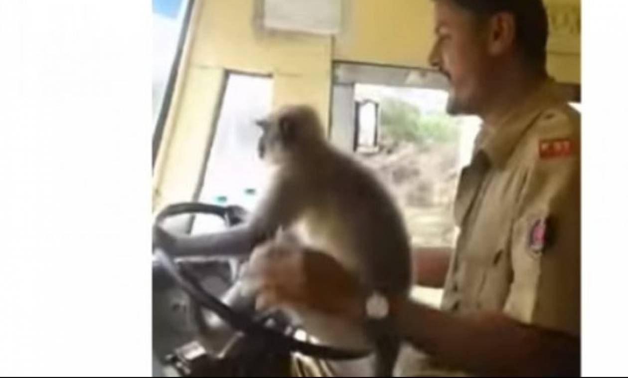 Τρελό; Οδηγός λεωφορείου δίνει το τιμόνι σε μαϊμού (video)