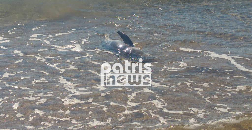 Πύργος: Επιχείρηση διάσωσης δελφινιού που βγήκε στα ρηχά της Σπιάτζας (pics&vid)