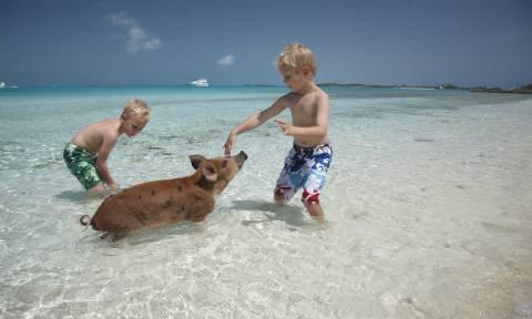 Κολυμπώντας με... γουρούνια στις Μπαχάμες (video)