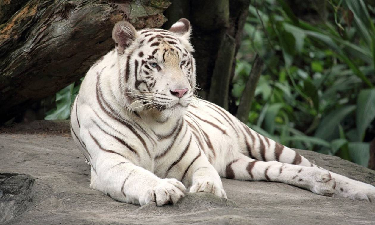 ΣΟΚ στην Ιαπωνία: Σπάνιος λευκός τίγρης κατασπάραξε φύλακα ζωολογικού κήπου
