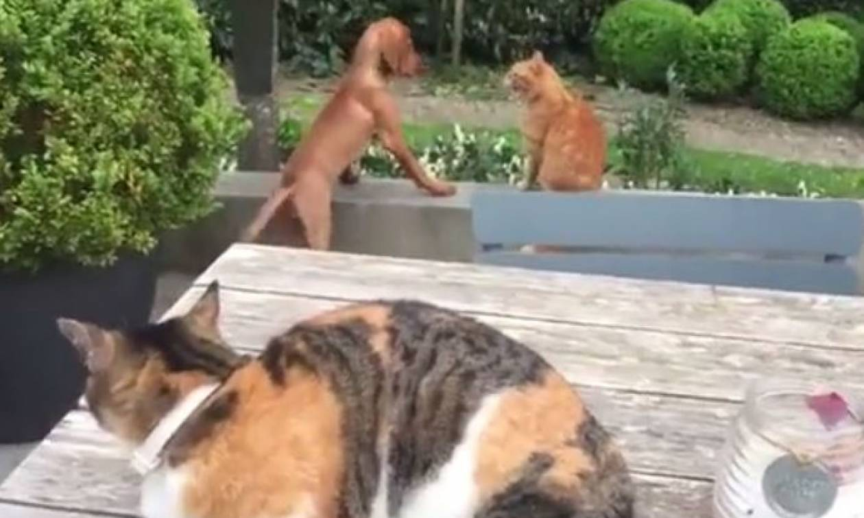 «Καυγάς» γατών για έναν… σκύλο (vid)