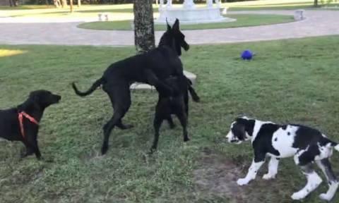 Το απίστευτο παιχνίδι μεταξύ τεσσάρων σκύλων (vid)