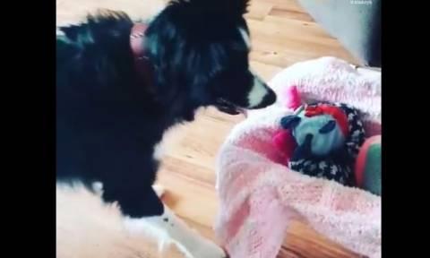 Όταν ένας σκύλος θέλει οπωσδήποτε παιχνίδια (vid)