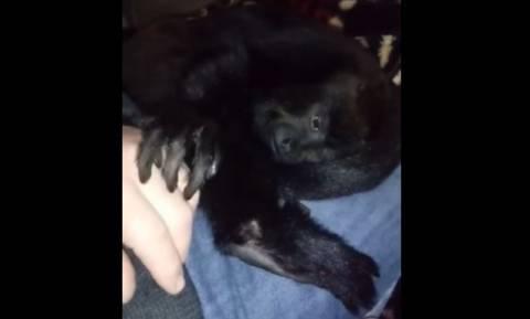 Η μαϊμού που ζητά απεγνωσμένα... χάδια! (vid)