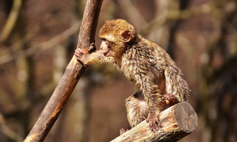 Ασύλληπτο! Μαϊμούδες σκότωσαν 72χρονο πετώντας του τούβλα πάνω από δέντρο