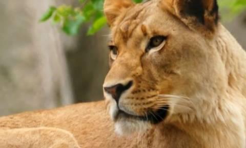 ΗΠΑ: Λέαινα σε ζωολογικό κήπο σκότωσε τον πατέρα των τριών παιδιών της (vid)