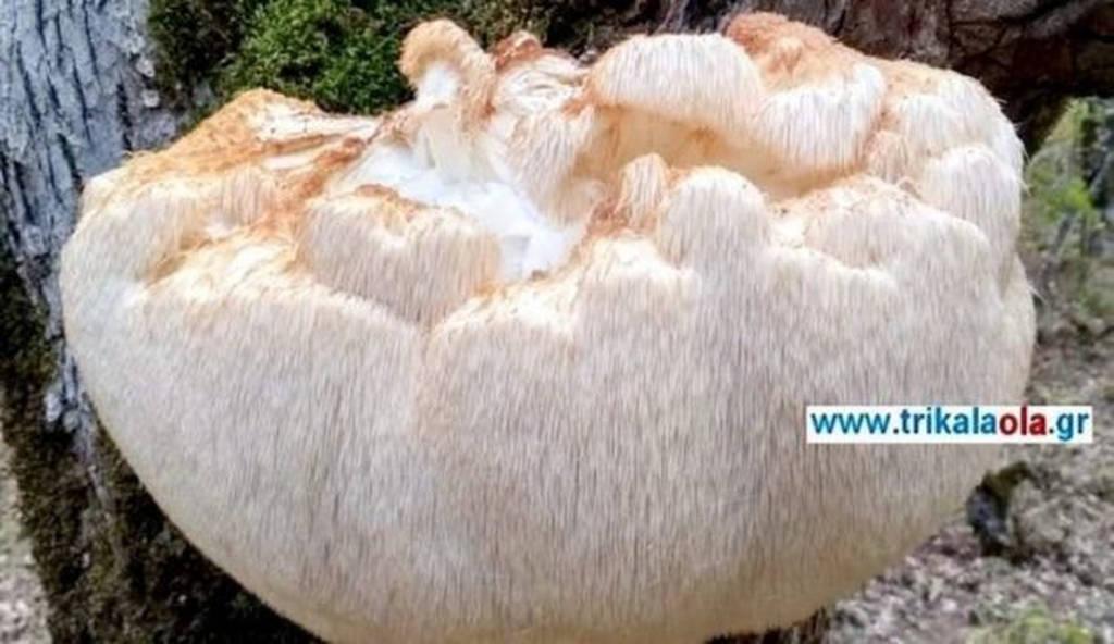 Μανιτάρι γίγας στα Τρίκαλα: Δείτε πόσο ζυγίζει (pics)