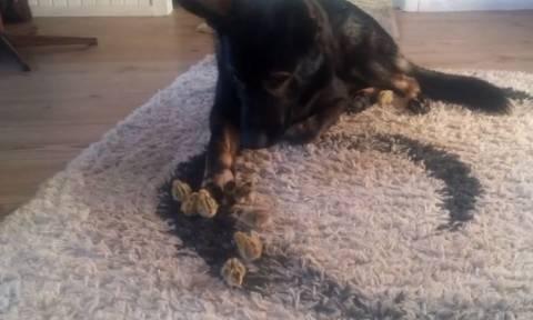 Ο σκύλος που κάνει παρέα με... ορτύκια (vid)