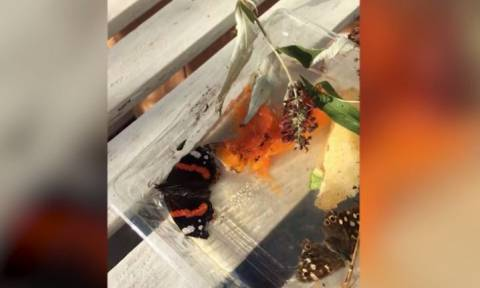 Η εντυπωσιακή διάσωση πεταλούδας (vid)
