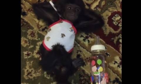 Μία μαϊμού χαλαρώνει μετά από ένα… μπουκάλι γάλα (vid)