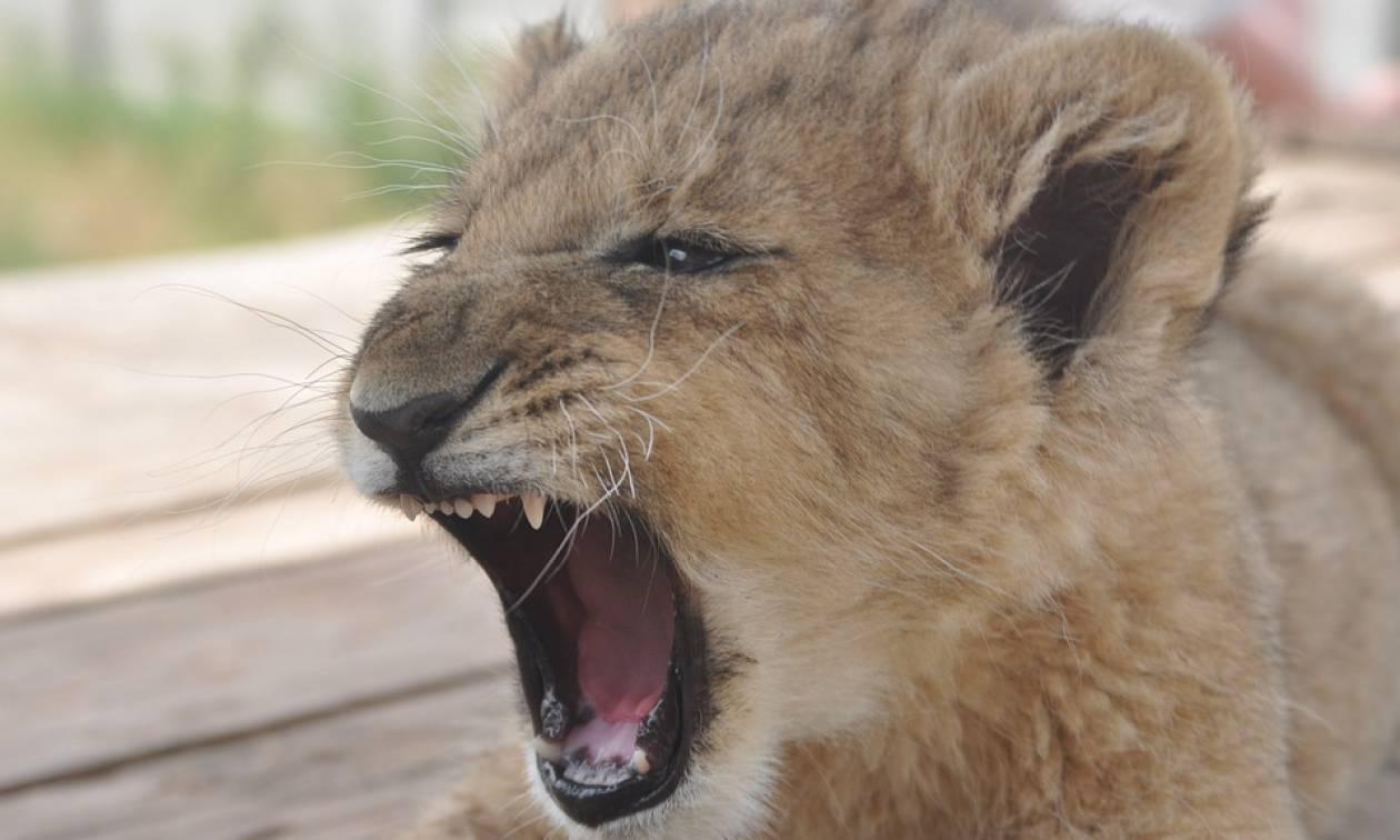 Παρίσι: Έκρυβε λιονταράκι μέσα σε διαμέρισμα - Θα το πουλούσε για 10.000 ευρώ