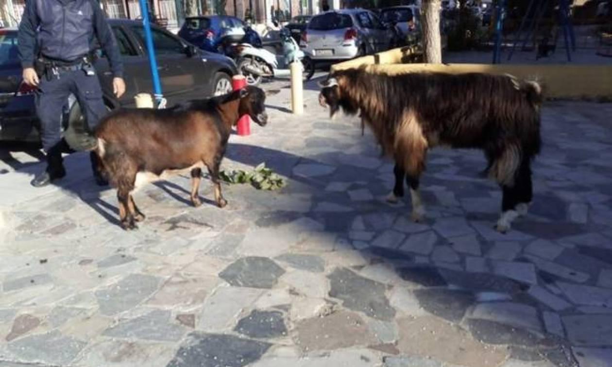 Ηράκλειο: Ένας τράγος και μία κατσίκα αναστάτωσαν κατοίκους και οδηγούς!