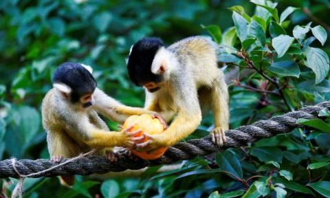 Halloween: Μαϊμούδες και οι φίλοι τους κάνουν πάρτι με κολοκύθες στο ζωολογικό κήπο του Λονδίνου