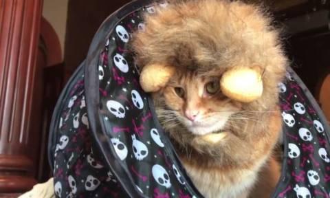 Η γάτα που μισεί να είναι… «λιοντάρι» (vid)