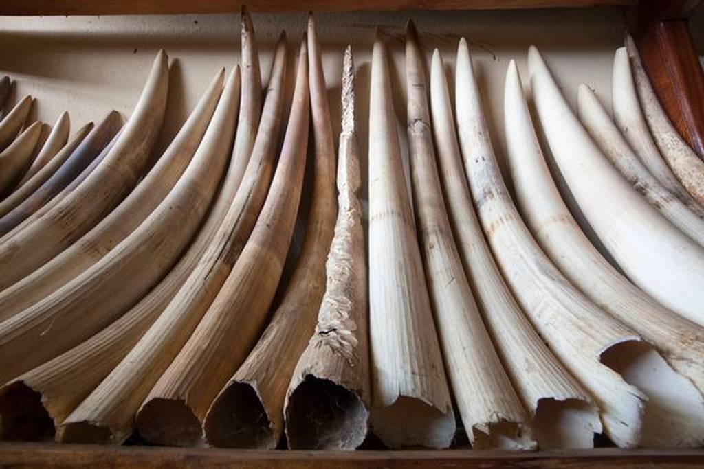 Οργή για την απόφαση της Κίνας να επιτρέψει ξανά το εμπόριο κόκκαλων τίγρη και κεράτων ρινόκερου
