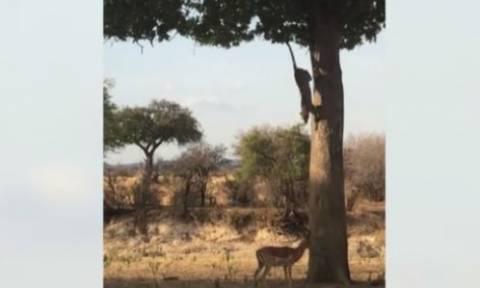 Δείτε τη μελετημένη επίθεση λεοπάρδαλης στο θήραμά της!