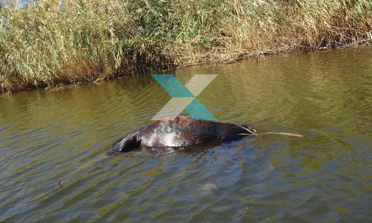 Φρίκη στον Έβρο: Πυροβόλησαν και σκότωσαν πέντε άλογα (Σκληρές εικόνες)