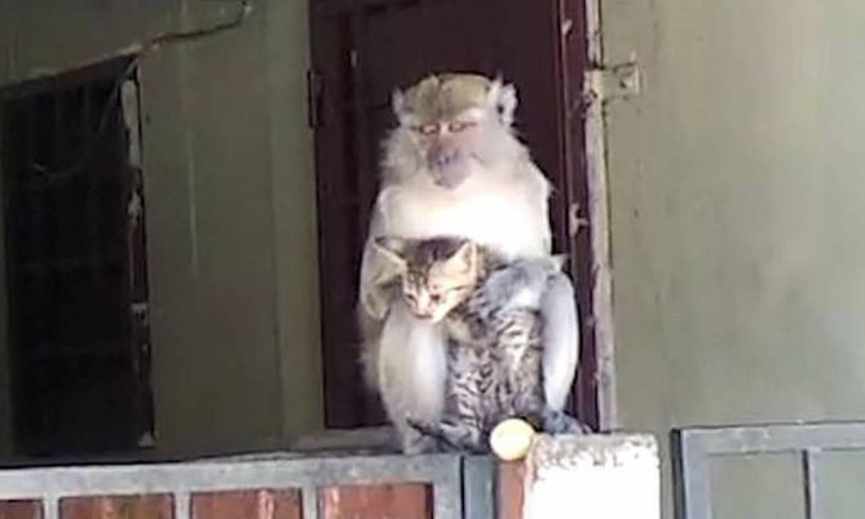 Μαϊμού απήγαγε… γάτα ωστόσο η συνέχεια είναι ακόμα καλύτερη!