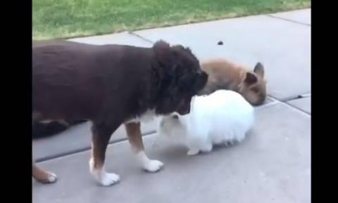 Τι κάνει ένας σκύλος όταν… ζηλεύει τρία κουνέλια; (vid)