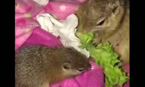 Μαμά και μωρό σκίουρων μοιράζονται το φαγητό τους (vid)