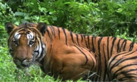Ινδία: Οργή για τη δολοφονία τίγρης που κατασπάραξε 13 ανθρώπους σε δύο χρόνια