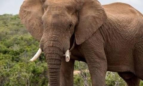 Γεωργία: Επιτυχής χειρουργική επέμβαση σε… χαυλιόδοντα ελέφαντα