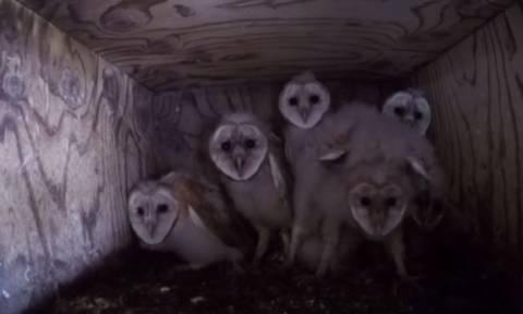 Πώς αντιδρούν οι κουκουβάγιες στην κάμερα; (vid)