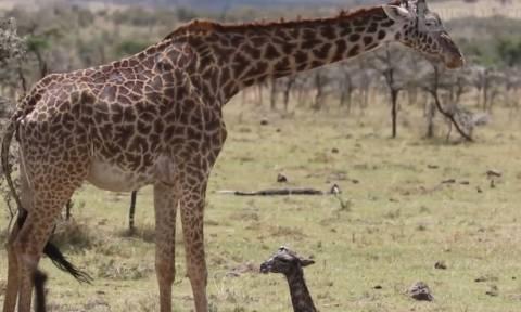 Βιντεοσκοπούσαν μια καμηλοπάρδαλη όταν ξαφνικά γέννησε το μωρό της (video)