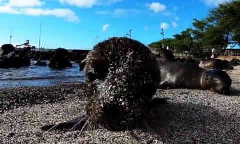 Θαλάσσιοι λέοντες παίζουν με τον φακό της κάμερας! (vid)