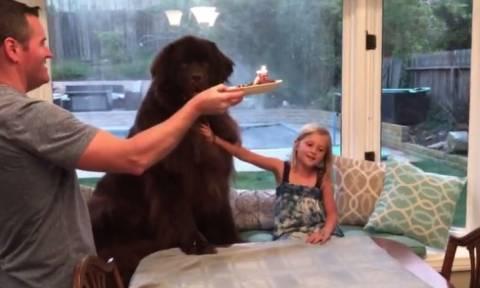 Ο γιγάντιος σκύλος που εξαφανίζει το γενέθλιο φαγητό του σε... δευτερόλεπτα (vid)