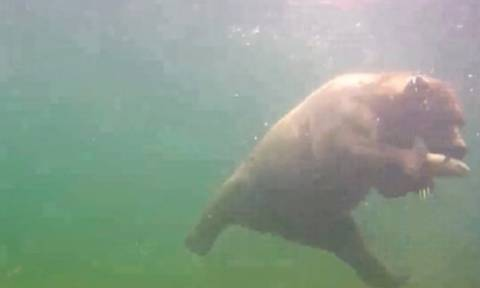 Απίθανη λήψη: Αρκούδα κάνει βουτιά και πιάνει... ψάρι μπροστά στην κάμερα (video)