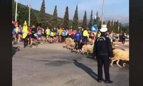 Επικό βίντεο: Πρόβατα τρέχουν μαζί με τους αθλητές στο Μαραθώνιο της Αθήνας