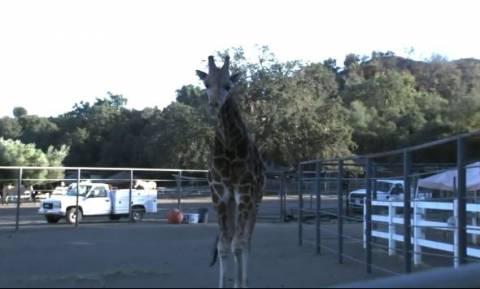 Φωτιά Καλιφόρνια: Ο Στάνλεϊ η καμηλοπάρδαλη που κατάφερε να επιζήσει από την πύρινη λαίλαπα (vid)