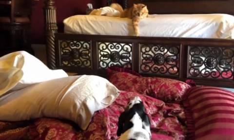 Γάτα και σκύλοι βοηθούν στο… στρώσιμο του κρεβατιού (vid)