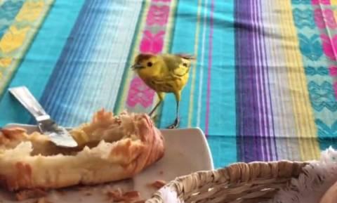 Το καναρίνι που «κλέβει» το πρωινό τουριστών (vid)