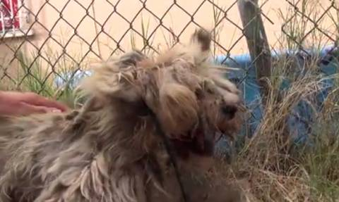 Βρήκαν σκύλο σε άθλια κατάσταση – Η μεταμόρφωση του θα σας κάνει να συγκινηθείτε (video)